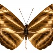 "Butterfly species Neptis omeroda omeroda ""sailer butterfly"" — Stock Photo"