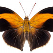 Butterfly species Historis odius orion — Stock Photo