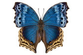 "Butterfly species Salamis temora ""Mother-of-Pearls butterfly"" — Stock Photo"