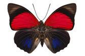 Motýl druhů agrias claudina lugens — Stock fotografie