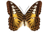 """Butterfly species Parthenos sylvia """"Clipper butterfly"""" — Stock Photo"""