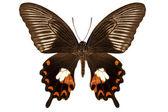 "Butterfly species papilio polytes mandane ""Common Mormon"" — Stock Photo"
