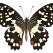 Постер, плакат: Butterfly species Papilio demoleus Lemon Butterfly