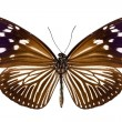 Butterfly species Euploea Mulciber female — Stock Photo