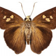 Stock Photo: Hesperiidae small butterfly genus