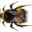 Bumblebee species Bombus terrestris — Stock Photo