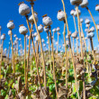 Stock Photo: Poppy seed capsules on background of sky, vertical
