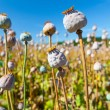 Poppy seed capsules on a background of the sky, horizontal - Stock Photo