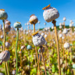 Stock Photo: Poppy seed capsules on background of sky, horizontal