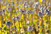 Poppy seed capsules — Stock Photo