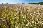 Capsules of poppy field — Stock Photo