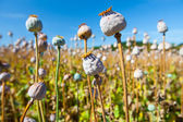 Poppy seed capsules on a background of the sky, horizontal — Stock Photo