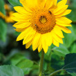 Sunflower in the field — Stock Photo #25805617