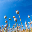 Poppy seed capsules on a background of the sky, vertical — Stock Photo