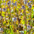 Stock Photo: Poppy seed capsules