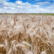 Stock Photo: Rye field, rye ears