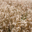 Rye field — Stock Photo #28635705