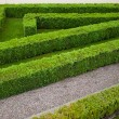 Green hedge — Stock Photo
