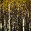 Autumn birch forest, background, square picture — Stock Photo