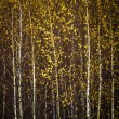 Autumn birch forest, background — Stock Photo
