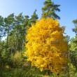 Yellow tree, autumn background — Stock Photo #33751079