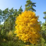 Yellow tree, autumn background — Stock Photo