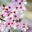 Pink cherry flowers — Stock Photo