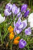 Group of garden crocus flowers — Stock Photo