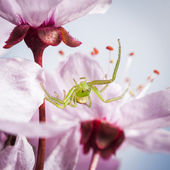 The Green Crab Spider, Diaea dorsata — Stock Photo