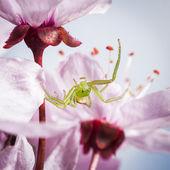 The Green Crab Spider, Diaea dorsata — Stock Photo