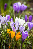 Close -up of violet small crocus garden flowers — Stock Photo