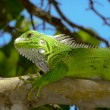 Green Leguan in tree — Stock Photo