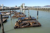 Pier 39 in San Francisco and its seals — Stock Photo