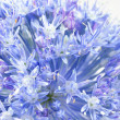 Stock Photo: Allium