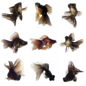 Set of Black Goldfish — Stock Photo