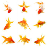Set of Goldfish — Foto Stock