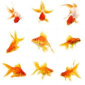 Set of Goldfish — Stock Photo