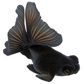 Black Goldfish on White Without Shade — Stock Photo