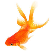 Goldfish on White Background — Stock Photo