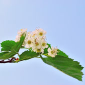 Wiosenne kwiaty głogu na tle niebieskiego nieba — Zdjęcie stockowe