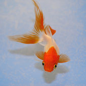 Goldfish against a background in plastic tank — Stock Photo