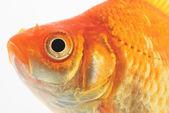 Gold Fish on White Background — Stock Photo