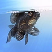 Black goldfish in the water — Stock Photo