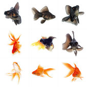 Set of Goldfish — Stock Photo