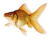 Gold Fish on White Background — Stock Photo