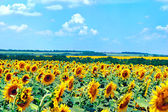 Field with blooming sunflowers, summer landscape — Foto Stock
