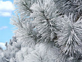Snow covered pine branch — Stock Photo