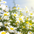 White daisies in sunlight — Stock Photo