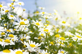 White daisies in sunlight — Stockfoto