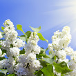 Branches of white lilac blossoms in the sunshine - Stock Photo